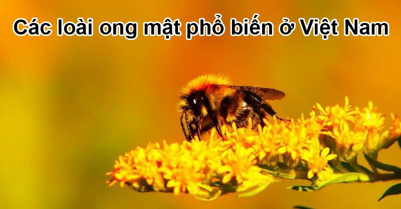 Các loài ong mật phổ biến ở Việt Nam