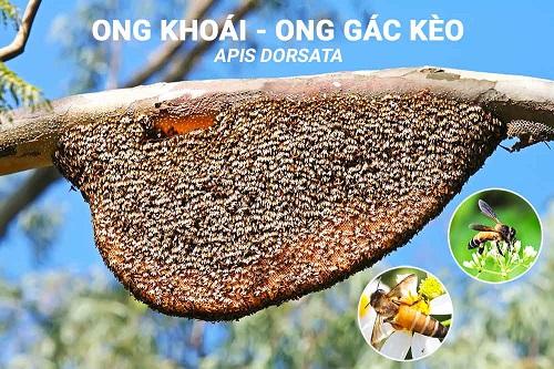 to-ong-khoai-ong-gac-keo-apis-dorsata